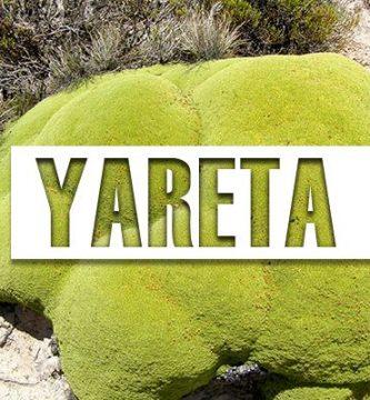 propiedades de la yareta