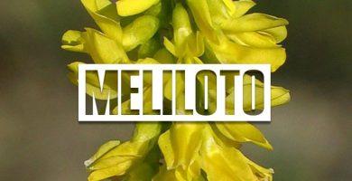 Propiedades medicinales del meliloto