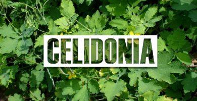 propiedades de la celidonia