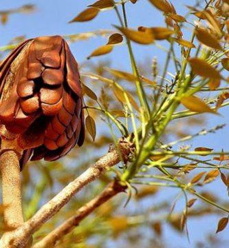 para que sirve la semilla de caoba