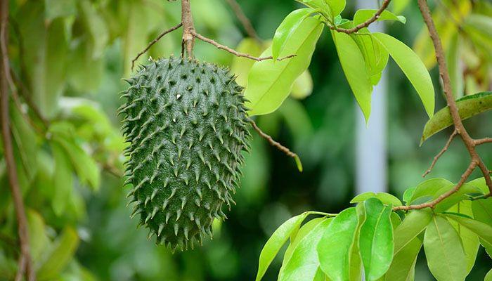 para que sirven las hojas de guanabana
